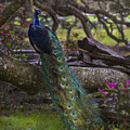 Peacock On The Plantation by Jeff Shumaker