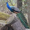 Peacock On Woodpile by Judith Morris