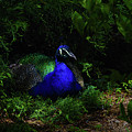 Peacock Peafowl by Donna Martinez