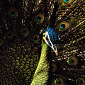 Peacock by Pete Federico