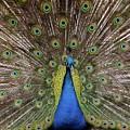 Peacock Plumage by Bob Cuthbert