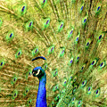 Peacock Prancing by Geraldine Scull