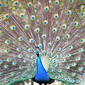 Peacock Show by Jodie Nash