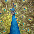 Peacock Splendor by William Bitman