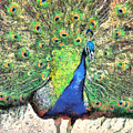 Peacock by Stacey Sather