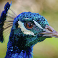 Peacock Stare by Elaine Malott
