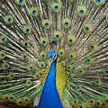 Peacock by William Waterfall - Printscapes