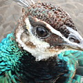 Peacocks Eye View by Shontell Cupler