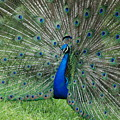 Peacocks Glory by Rob Hans
