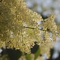 Pear Blossom by Faith Harron Boudreau