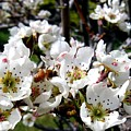 Pear Blossoms And Bee by Will Borden