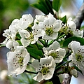 Pear Tree Blossoms 1 by J M Farris Photography
