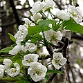 Pear Tree Blossoms 2 by J M Farris Photography