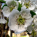 Pear Tree Blossoms 3 by J M Farris Photography