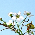 Pear Tree Blossoms 6 by J M Farris Photography