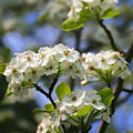 Pear Tree Blossoms by Angela Rath