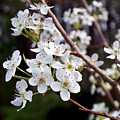 Pear Tree Blossoms IIi by Betty Northcutt