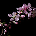 Peach Tree Blossum by Nancy Griswold