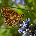 Pearl-bordered Fritillary by Steen Drozd Lund