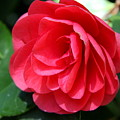 Pearl Of Beauty - Red Camellia by Christiane Schulze Art And Photography