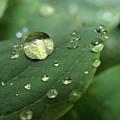 Pearls On Leaf 5 by Kim Tran