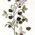 Peco Tea, 1735 by Granger
