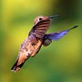 Peek-a-boo Hummingbird by Carol Groenen