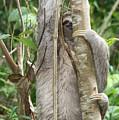 Peek-a-boo Sloth by Kelly Foreman