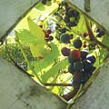 Peeking At Grapes by Celtic Artist Angela Dawn MacKay