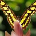 peeking Butterfly by Patrick  Short