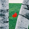Peeking Tulip by Lauri Novak