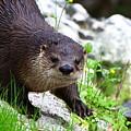 Peering Otter by Barbara Bowen