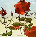 Peka Peka Roses by Brett Shand