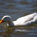 Pekin Duck 20120512_38 by Tina Hopkins
