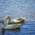 Pekin Ducks 20120515_15 by Tina Hopkins