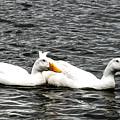 Pekin Ducks by Norman Johnson