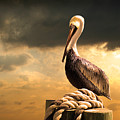 Pelican After A Storm by Mal Bray