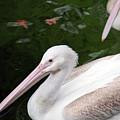 Pelican by Amanda Barcon