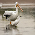 Pelican And Snowy Egret 6459-113017-1cr by Tam Ryan