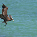 Pelican Contemplating A Water Landing In Aruba by DejaVu Designs