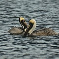 Pelican Couple by Colleen Fox