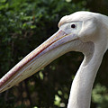 Pelican  by Danny Yanai