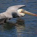 Pelican by Diana Douglass
