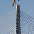Pelican Diving Arthur Ravenel Jr Bridge Over The Cooper River In Charleston South Carolina by Dustin K Ryan