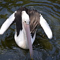 Pelican Down Under by Mark J Dunn