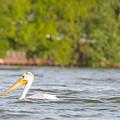 Pelican Drifting Along by Nikki Vig
