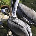 Pelican Duo by Deborah Benoit