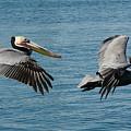 Pelican Duo by Fraida Gutovich