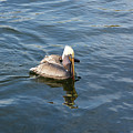Pelican Eating Dinner by Aimee L Maher ALM GALLERY