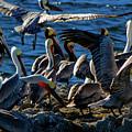 Pelican Fiesta by Doug Sturgess
